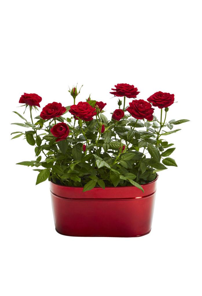 Tea roses in red zinc plant pot