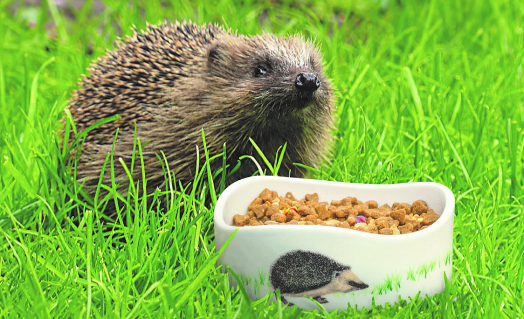 A hedgehog eating food from a bowl