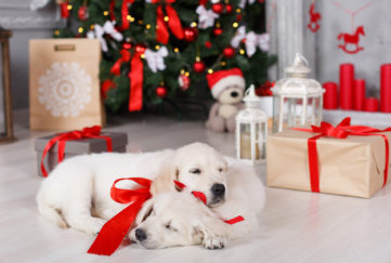 Merry Christmas. Puppies Jack and Lord - Golden Retriever breeds, with a red bow around his neck, in a house decorated with a beautiful green Christmas tree with red Christmas balls, ribbons and bows, big boxes of gifts, wishes a happy holiday and Christmas